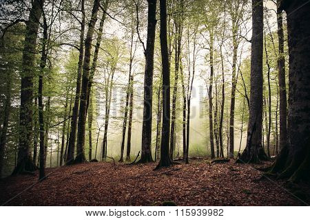 Deep Forest beautiful landscape foggy