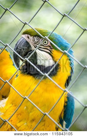 Macaw Parrot Yellow Green Blue Bird Fenced Eye Portrait Vertical