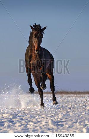 Bay stallion in snow
