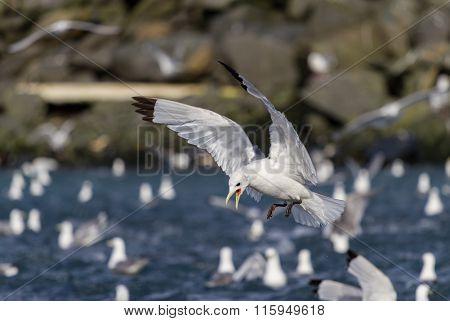 Threatening Seagull