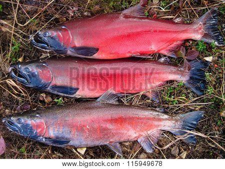 Silver (coho) Salmon