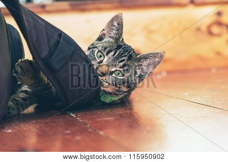 Playful Young Tabby Cat Chewing On Backpack Lying On Wooden Floor In Home.