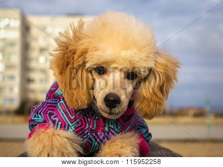 Puppy Poodle Peach Color In Winter Clothes, Looks