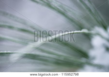 Nature's Abstract: Blurred Pine Needles Of Winter