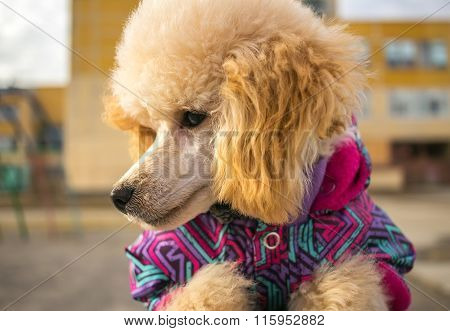 Muzzle Poodle Puppy, Peach Color. Pet