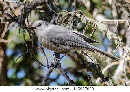Clarks Nutcracker In Tree