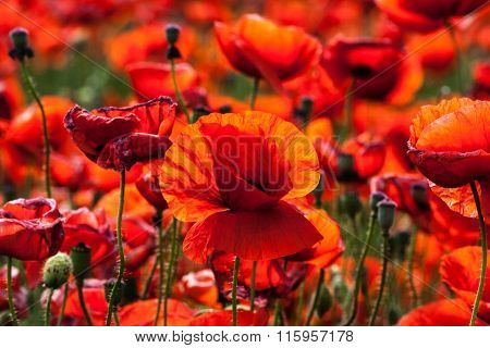 Flowers - Red Poppies In The Field