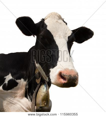 Head Of Black And White Cow