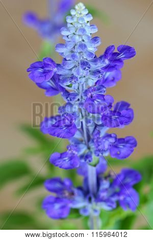 Soft focus of Blue Salvia flower in blue purple color on a blurred background