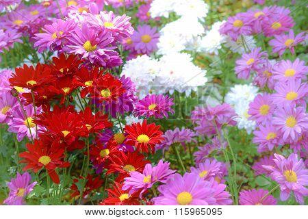 Beautiful Flowers In Chiangmai, Thailand