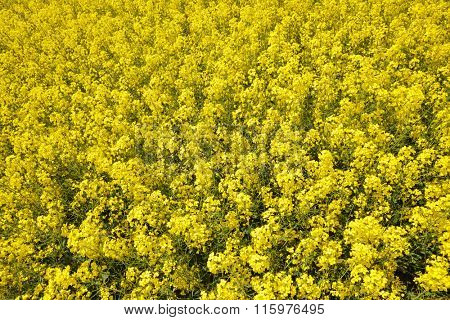 Close up  of a blooming rapeseed field. Spring season.