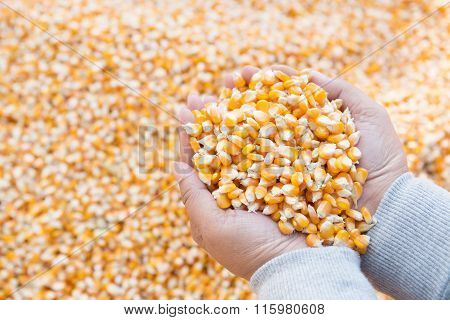 Corn Seed For Animal Feed Industry In Hand And Blurry Corn Seed Background