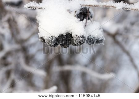 Winter Bunch Of A Black Mountain Ash With The Snow