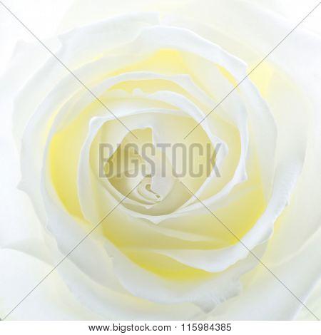 Single creamy white rose closeup, square format
