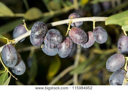 A Sprig Full Of Mature Black Olives