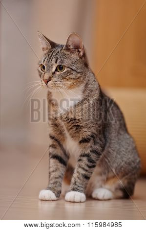 Striped Domestic Cat With White Paws