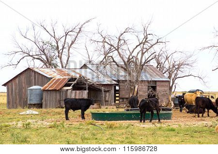 Old House And Shed Falling Down Amongst Dead Trees Surrounded By Cattle Ranch, Texas Panhandle Near