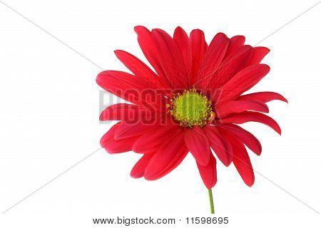 Single Red Chrysanthemum Daisy