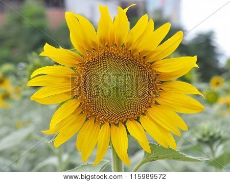 Close up on sunflower blooming