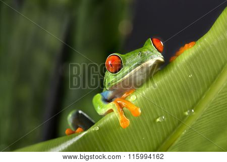 Tree Frog Peeking Over Leaves