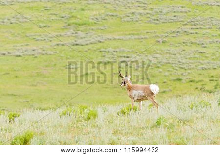 solitary North American Pronghorn Antelope (Antilocapra americana) in Yellowstone National Park
