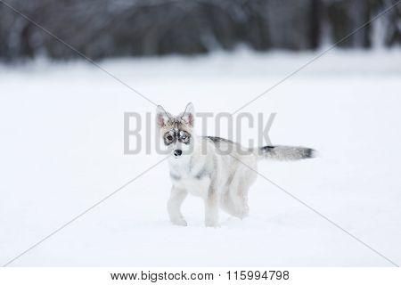 Portrait Of A Husky Puppies