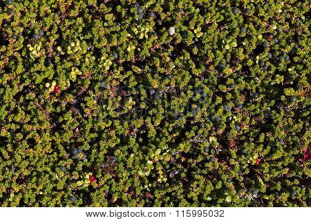 Close-up, macro on crowberry.