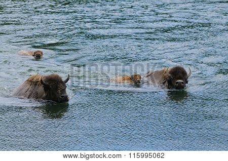Bison swimming across the Yellowstone river in Yellowstone National Park