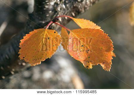 Close-up, macro on birches, Betula pubescens. Colorful autumn, fall.