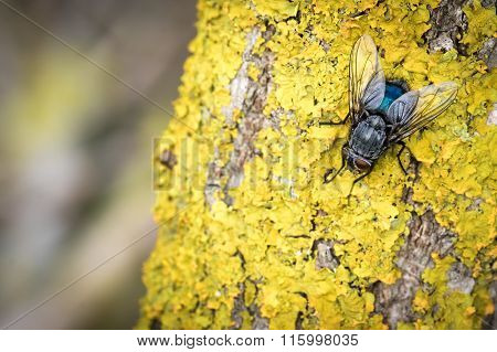 Blue Fly On Yellow Moss