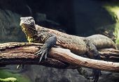 Постер, плакат: Komodo Dragon varanus Komodoensis Portrait Animal Scene
