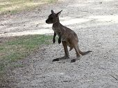 stock photo of tammar wallaby  - this is the first time this joey went out of the pouch - JPG