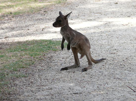picture of tammar wallaby  - this is the first time this joey went out of the pouch - JPG