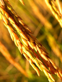 pic of thai food  - a photo of rice field in thailand  - JPG