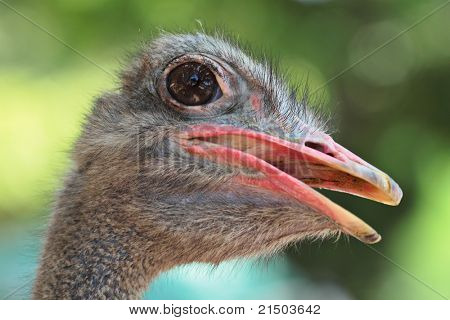 ostrich portrait close up