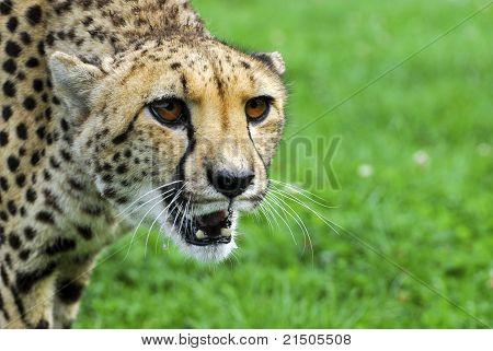 Cheetah - Wildlife Park