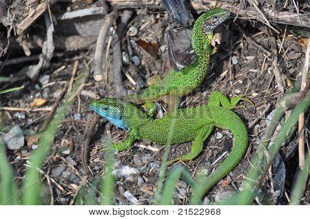 Lizard (lacerta Viridis)
