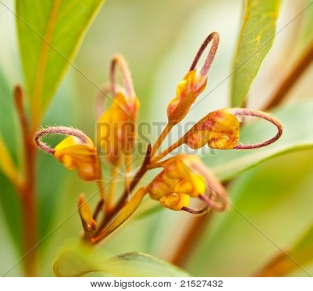Australian Wildflower Grevillea Venusta Orange Flower