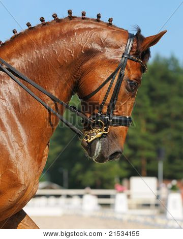Dressage: portrait of sorrel horse on nature background
