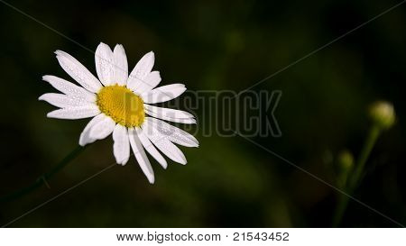 Chamomile with drops of dew on petals against dark green background.