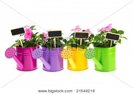 Colorful row of watering cans with pink Busy Lizzy on white background