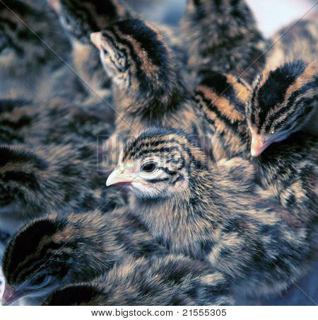 Newborn Guinea Fowl Keets
