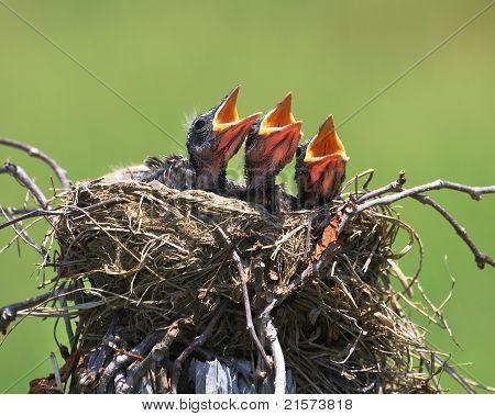 Hungry Robins