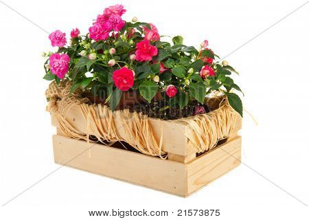 Double Busy Lizzy plants in wooden crate isolated over white background