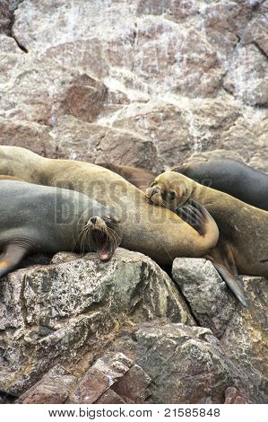 Sleepy Sea-lions