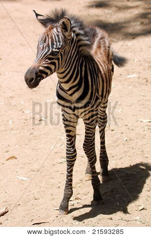 A Baby Zebra Stands On His Long Skinny Legs