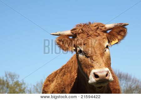 Limousin Cow Closeup Head Portrait