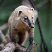 foto of coatimundi  - portrait of a very cute White - JPG