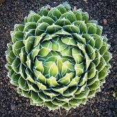 Queen Victoria Agave  - Round Agave Plant poster