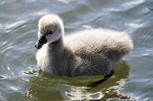 Cute Swan Cygnet poster